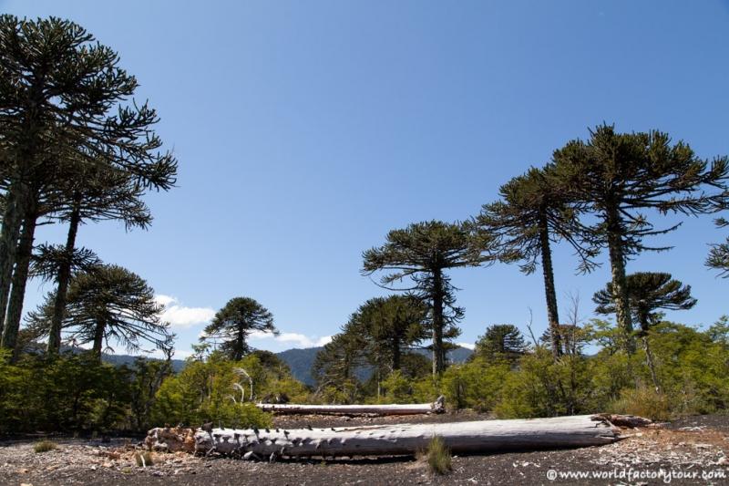 voyage-chili-region-lacs-parc-national-conguillio-14