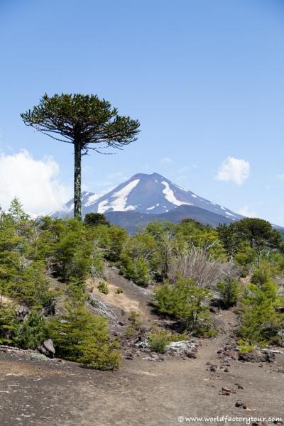 voyage-chili-region-lacs-parc-national-conguillio-18